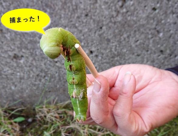 割り箸でつままれたイモムシの画像