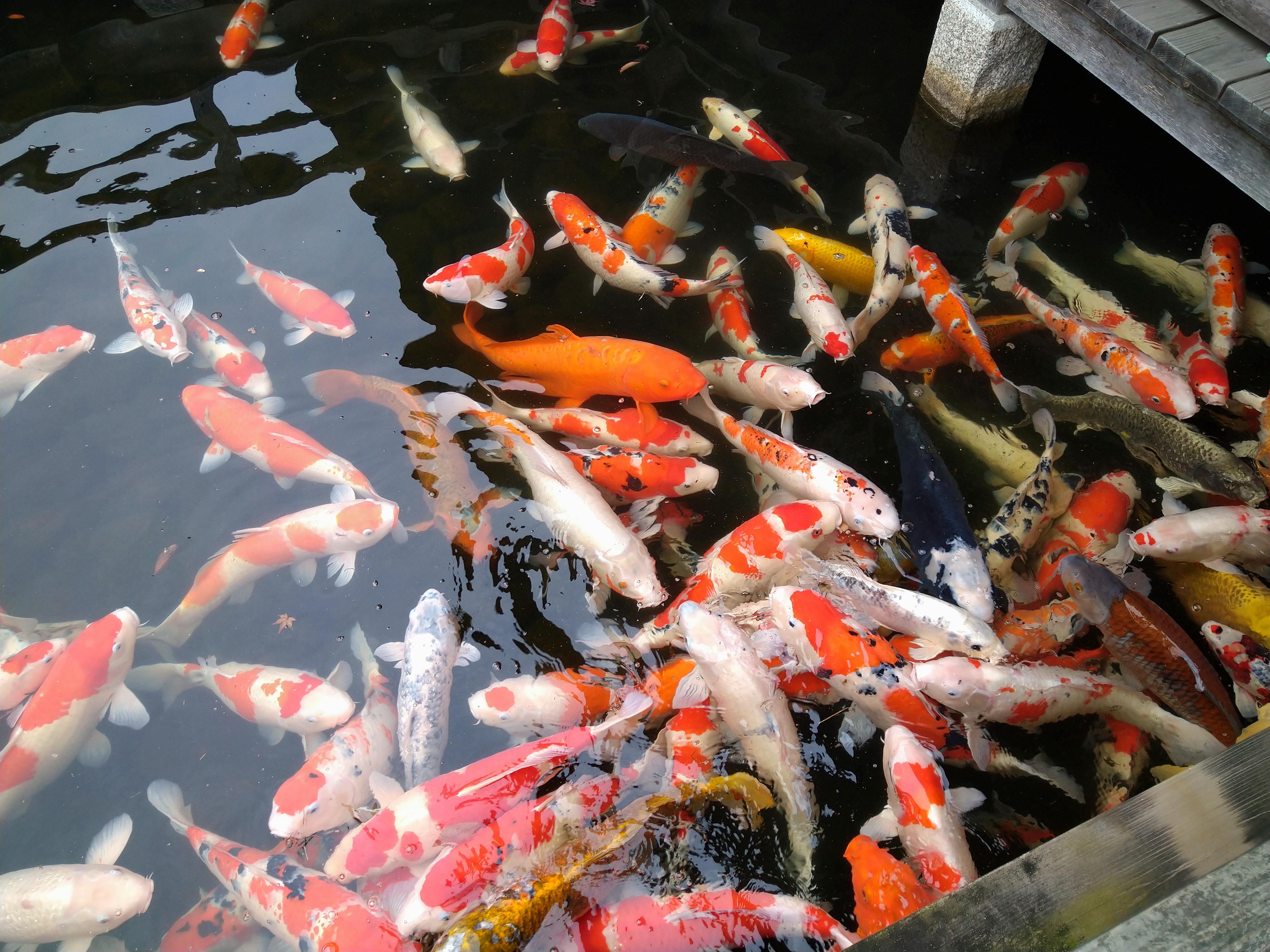 三景園の鯉